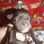 Mini Cooper (Brown Female)